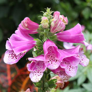 Photo of Foxglove - Tom's Garden 2012